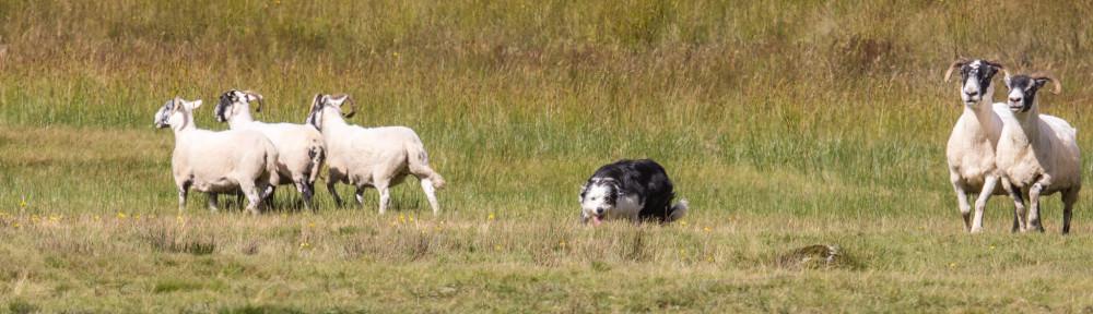 Østfold Gjeterhundlag