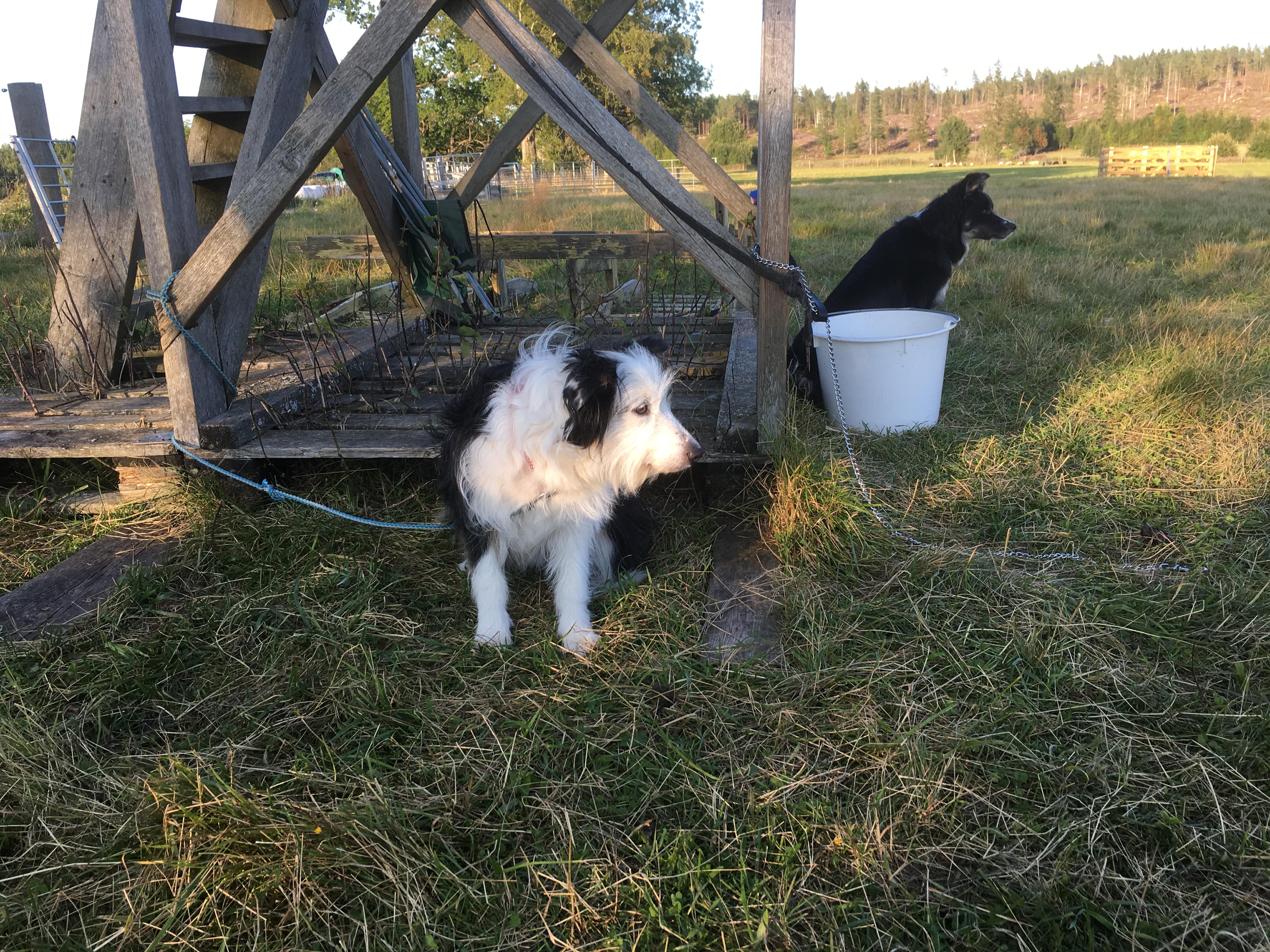 Flere gjeterhunder stod klare til å hjelpe til med jobb